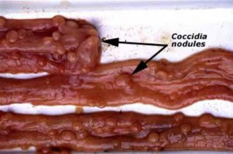Coccidia nodules in the small intestine
