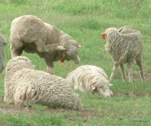 Rubbing sheep-lice or not?