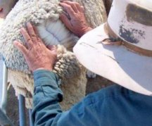 Inspecting sheep for lice-where do you look?