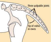 Dock the tail immediately below the third palpable joint or to the tip of the vulva in ewes
