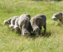 Lambs at weaning are at the most worm-susceptible time of their lives