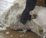 Shearers' clothing can potentially transfer lice from one property to another
