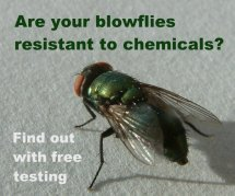 Blowflies are becoming resistant to preventative treatments