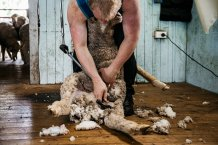 Shearing and treating new arrivals is the best option for biosecurity, but must be weighed against the costs.