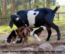 Goats can develop immunity to worms