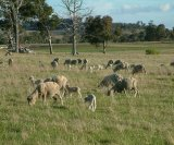 Lice treatment for breeding ewes and their lambs