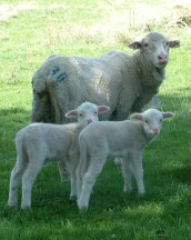 Ewes with twin lambs are at risk of pregnancy toxaemia