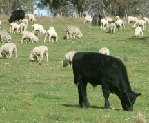 Cattle share few worms with sheep and goats