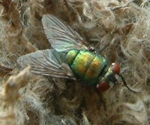 Early season treatment can suppress the build up of flies