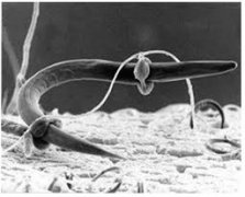Duddingtonia flagrans fungi preying on a nematode larva. Source: Brock University Wiki Server