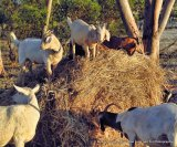 Goats have different strategies to cope with worms