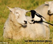 Can birds spread sheep lice?