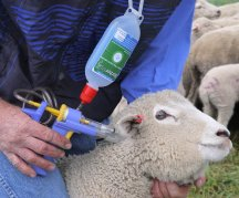 Start Barbervax on young sheep at lamb marking