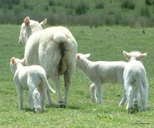 How fast are your lambs really growing?