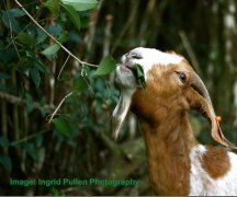 How does browsing improve worm control for goats?