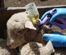 Pain relief options for lambs at marking
