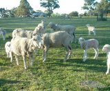 Lamb marking - are you using best practice?