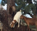 Worm control in goats for smallholders