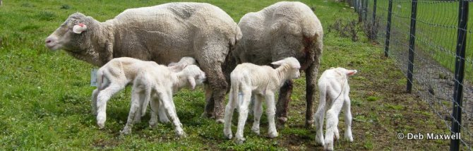 Why do ewes become more susceptible to worms just before lambing and during lactation?
