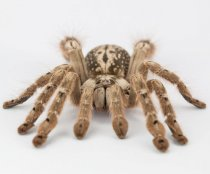 Tarantulas to combat worms