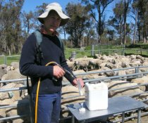 When drenching sheep, use the label dose rate