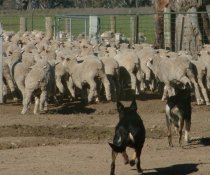 Weaners do better on a low worm-risk paddock in winter