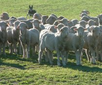 Winter brings lower pasture growth and grazing closer to ground with more exposure to worms
