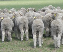 Plainer sheep are at less risk of flystrike
