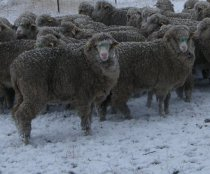 Freezing temperatures don't stop worms or lice from infecting stock