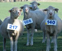 Ewes lose immunity to worms at and after lambing.