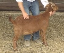 Goat Body Condition Scoring. Source: Reid Redden, Texas A&M Agrilife Extension