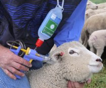 Can the Barbervax vaccine be used in goats
