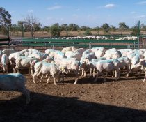 Treating sheep for lice - what do you need to know?