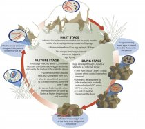 The roundworm life cycle (Source: Sheep CRC)