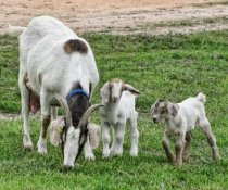Which classes of goats are most susceptible to worms? Source: Hunnybee Melissa O'Garr.