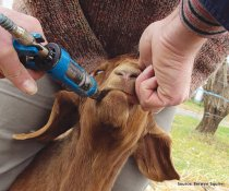 How do you know when to drench for barber's pole in goats?