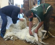 Shearing all the flock at the one time makes lice management much easier.