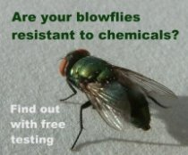 Blowflies are becoming resistant to preventative treatments.