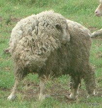 Not all itchy sheep have lice or itch mite.