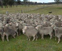 A long-acting drench should be considered if sheep are expected to be confined for extended periods during wet conditions.