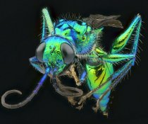 Jewel Wasp. Source: Copyright Andreas Kay