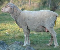 In WA should pre-lambing ewes be drenched?