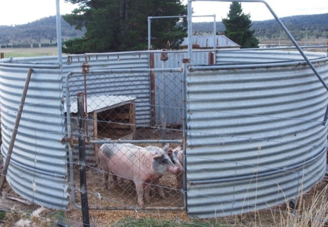 Image: Shower dips are generally better suited to being used as a pig-pen, than for eradicating lice in sheep. Source: Paul Nilon.