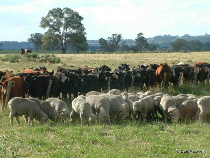 Use cattle as part of a paddock rotation to prepare low worm-risk paddocks.